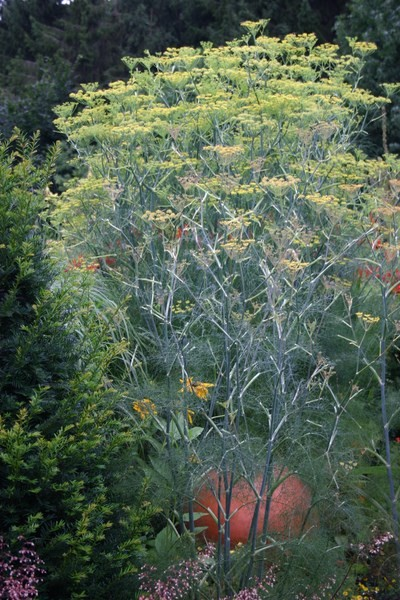 Gewürz-Fenchel – Foeniculum vulgare